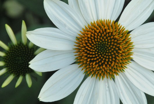 cone_flower_1_BLOG