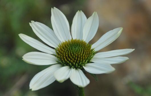 cone_flower_3_BLOG