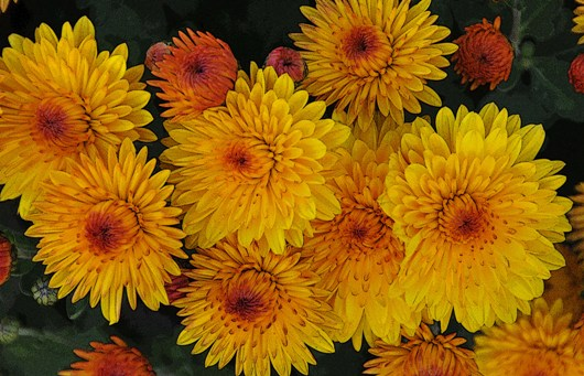 chrysanthemums_on_dog_walk_BLOG