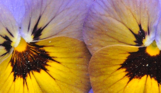 two_pansies_2016_BLOG
