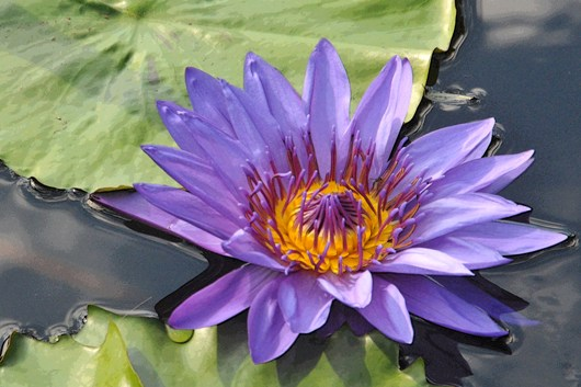 longwood_waterlily_blog